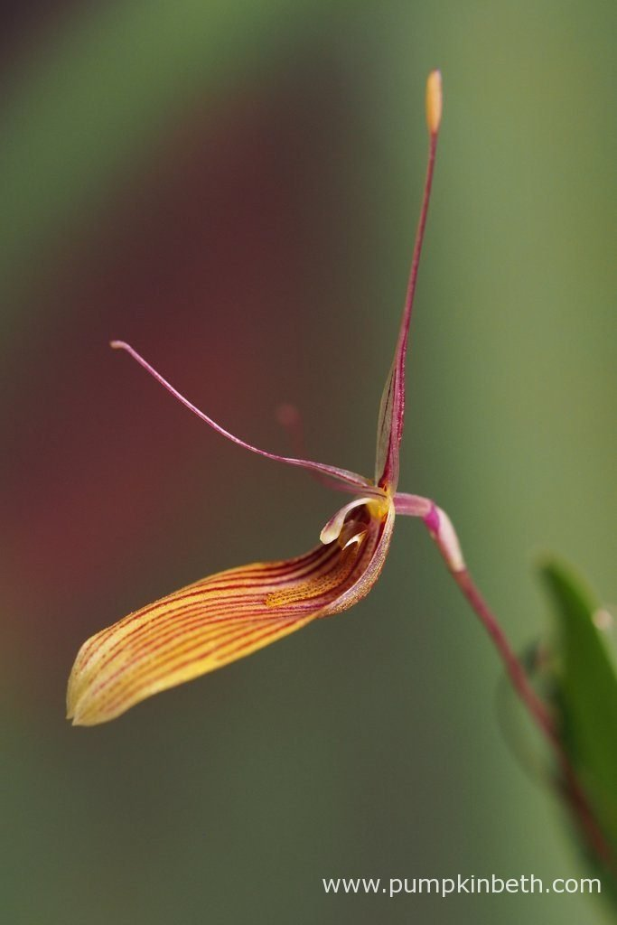 Restrepia antennifera, pictured in flower on the 27th August 2016.