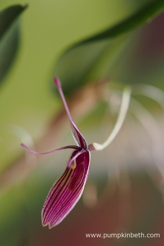 Restrepia purpurea 'Rayas Vino Tinto', pictured in flower, on the 29th August 2016.