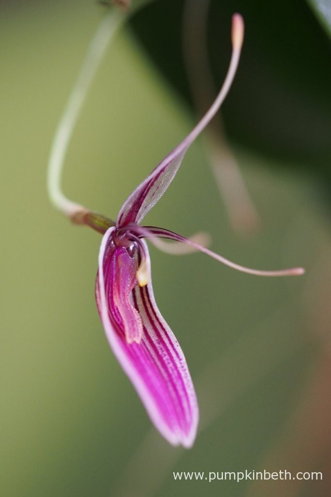 Restrepia purpurea 'Rayas Vino Tinto' has flowered so prolifically, this miniature orchid has thrived inside the BiOrbAir terrarium. So far, this Restrepia purpurea 'Rayas Vino Tinto' specimen has been the most floriferous of all of the Restrepias I have growing inside my BiOrbAir terrariums. Pictured on the 29th August 2016.