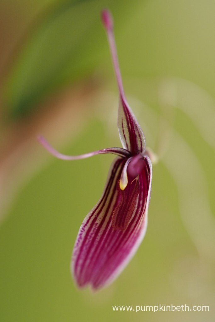 Restrepia purpurea 'Rayas Vino Tinto', this miniature orchid has thrived inside the BiOrbAir terrarium, it has been almost continually in flower since the 8th February 2016 . Pictured on the 29th August 2016.