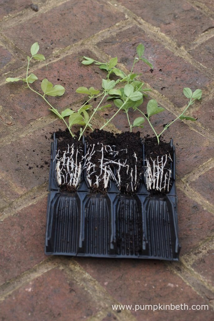 I grow my sweet peas in Deep Rootrainers - deep seed trays, which feature ridged cells, designed to encourage the formation of strong, healthy roots. Each section of a Rootrainers tray is removable. The sections unfold and open out like a book, allowing easy examination of the plants' root system as it develops, and ensuring the straightforward removal of your seedlings when it comes to planting.