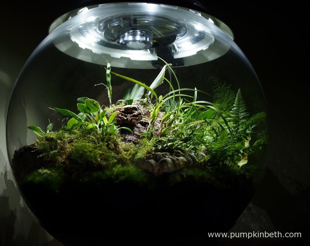 My BiOrbAir terrarium as pictured on the 3rd September 2016. Inside this terrarium, Restrepia purpurea 'Rayas Vino Tinto', and Restrepia sanguinea are both flowering.
