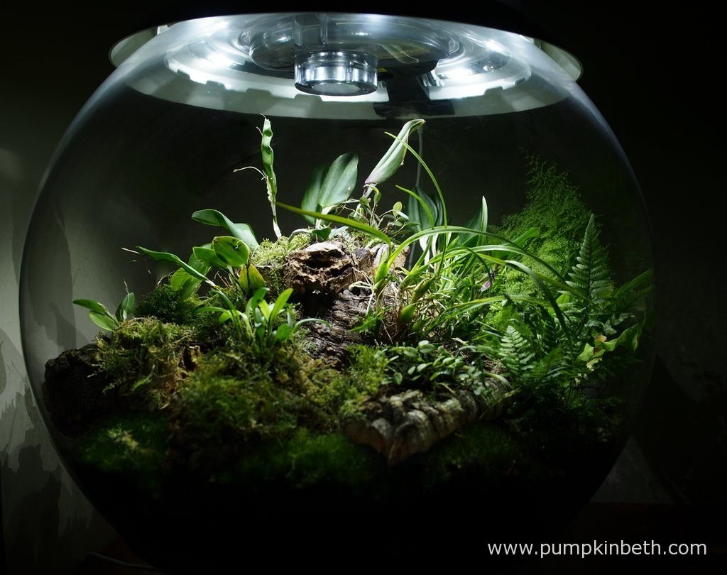 My BiOrbAir terrarium as pictured on the 3rd September 2016. Inside this terrarium, Restrepia purpurea 'Rayas Vino Tinto', and Restrepia sanguinea are both flowering. At the back of the terrarium, on the right hand side, Nephrolepis exaltata 'Fluffy Ruffles' has grown considerably over the past couple of months. This fern now forms a decorative curved arch shape, mirroring the shape of the terrarium globe.