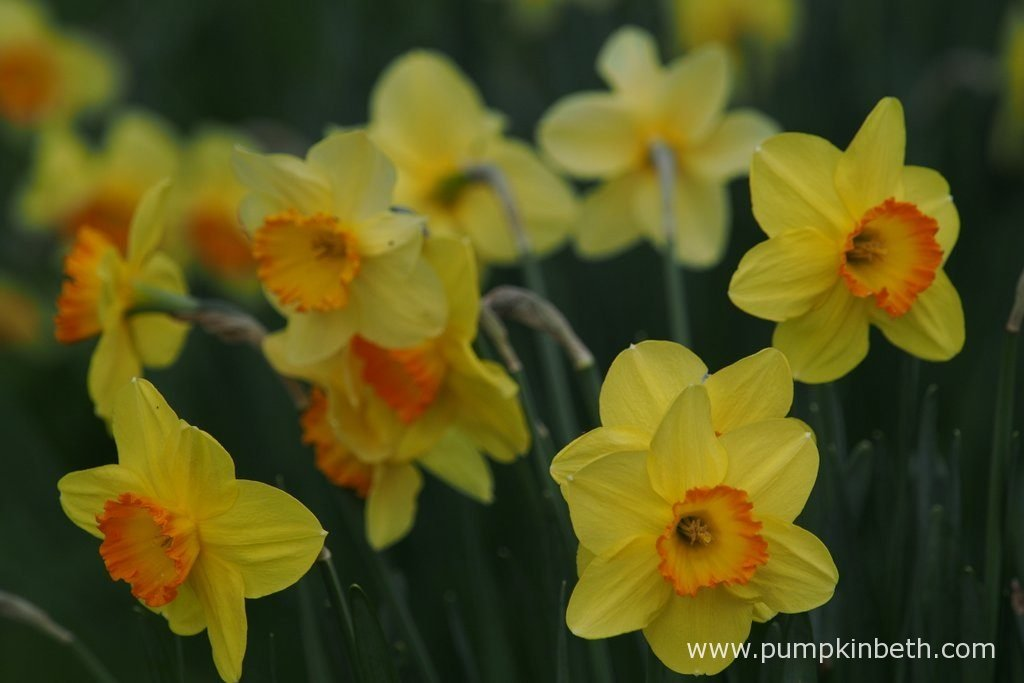 Plant daffodil bulbs in autumn, to enjoy their beautiful flowers next spring.