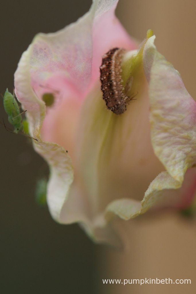 A lacewing larvae predating on an aphid on a Lathyrus odoratus 'John Gray' flower.