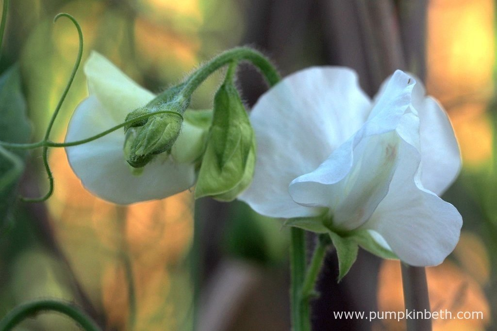 Lathyrus odoratus 'Aphrodite' is a vigorous sweet pea that produces white flowers.