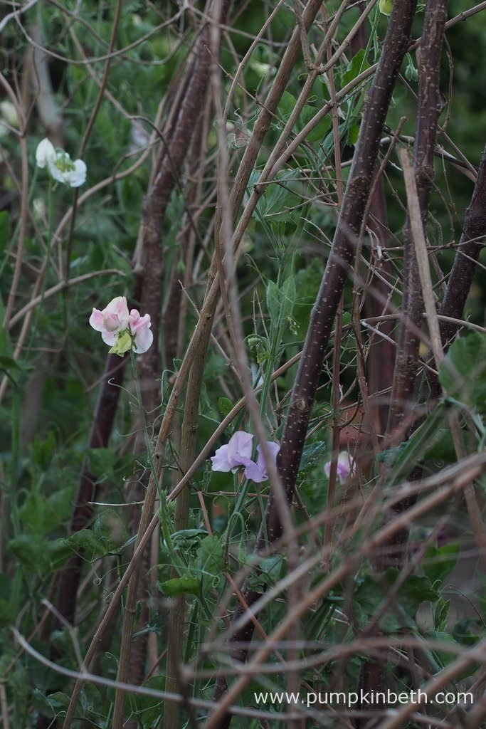 Sweet Pea wigwams.