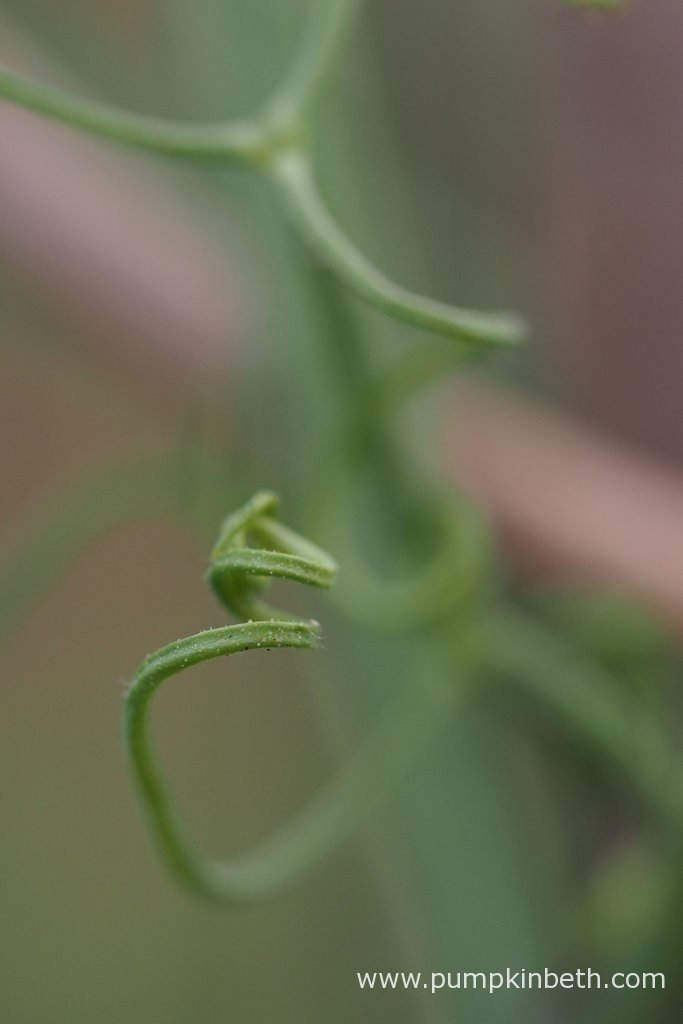 A Lathyrus odoratus tendril that has formed a corkscrew shape. Pictured during my 2016 Sweet Pea Trial.