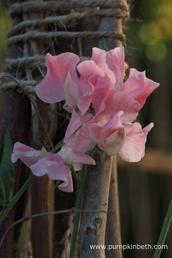 When the wigwam grown plants had reached the top of their supports, there was no where else for the plant to go. The Sweet Pea pictured in this photograph is Lathyrus odoratus 'John Gray'.