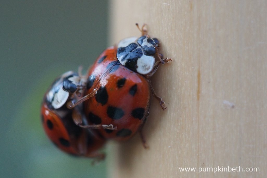 Ladybirds mating on the 2016 Sweet Pea Trial bamboo canes.