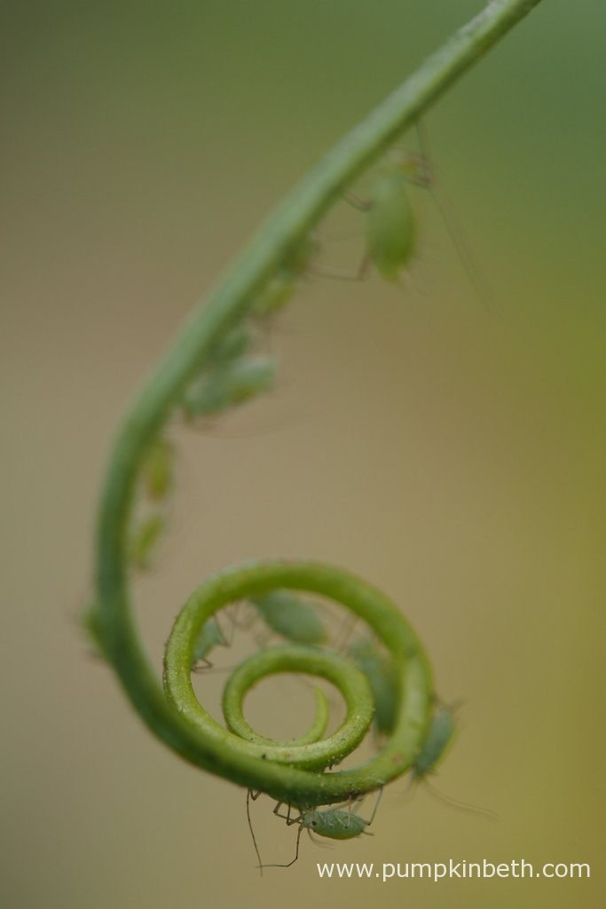 This Lathyrus odoratus tendril has formed a scroll. Pictured during my 2016 Sweet Pea Trial.