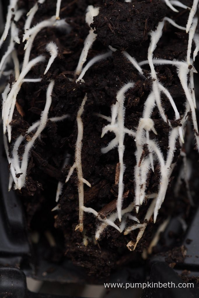 A closer look at the Lathyrus odoratus roots developing inside the Deep Rootrainers. The roots are air pruned once they reach the base of the Rootrainers. Rootrainers have been designed to create an environment where seeds sown in these seed trays will produce healthy roots.