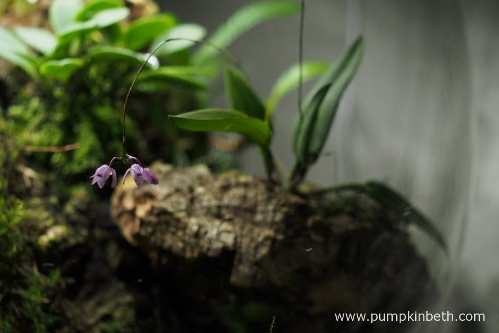 Domingoa purpurea, as pictured in flower, on the 2nd September 2016, inside my BiOrbAir terrarium.