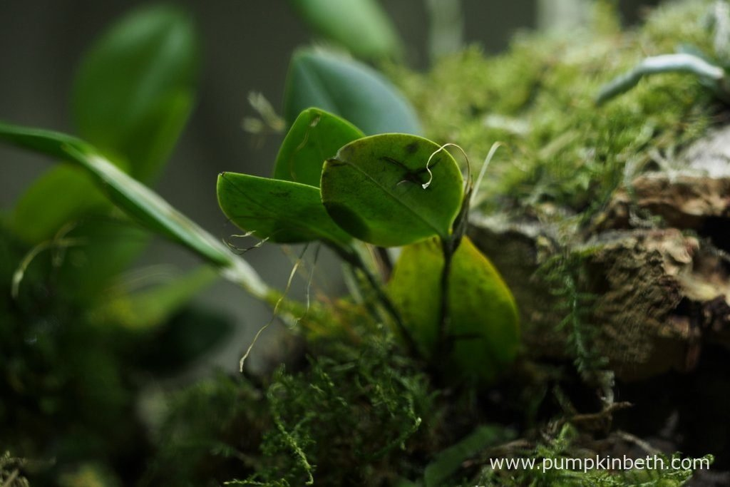 Restrepia antennifera has for the time being, stopped flowering. Pictured inside my BiOrbAir terrarium on the 3rd September 2016.