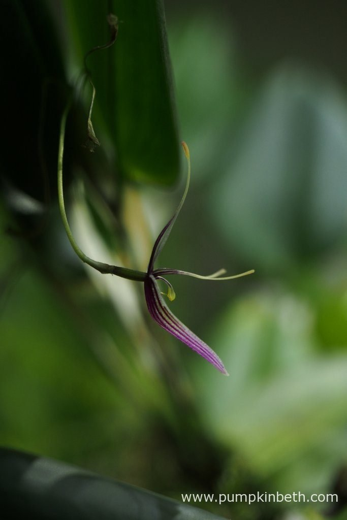 Restrepia purpurea 'Rayas Vino Tinto' in flower, inside my BiOrbAir terrarium, on the 3rd September 2016.
