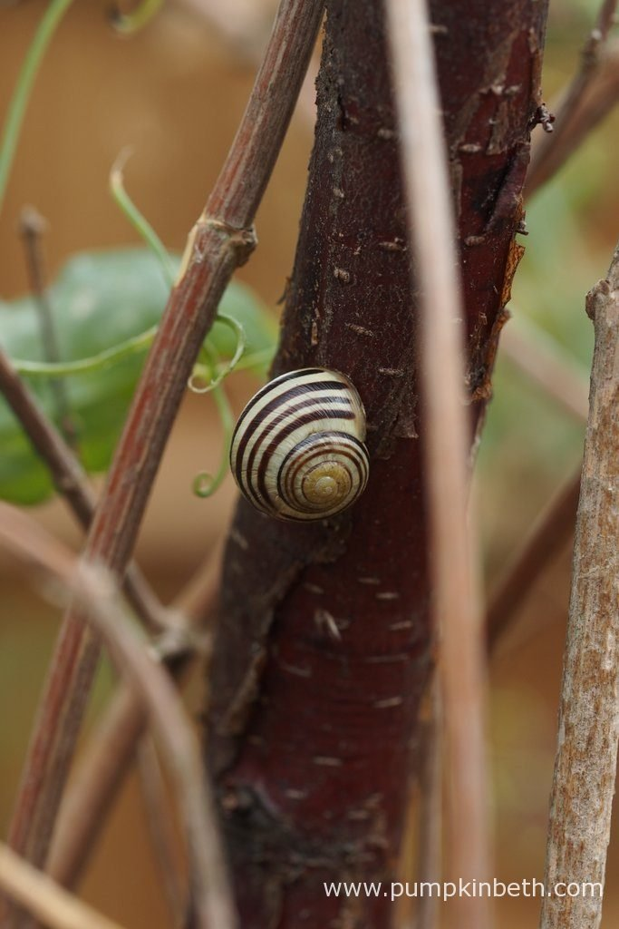 A pretty Cepaea hortensis, or white lipped snail resting on the Sweet pea wigwams during my 2016 Sweet Pea Trial.