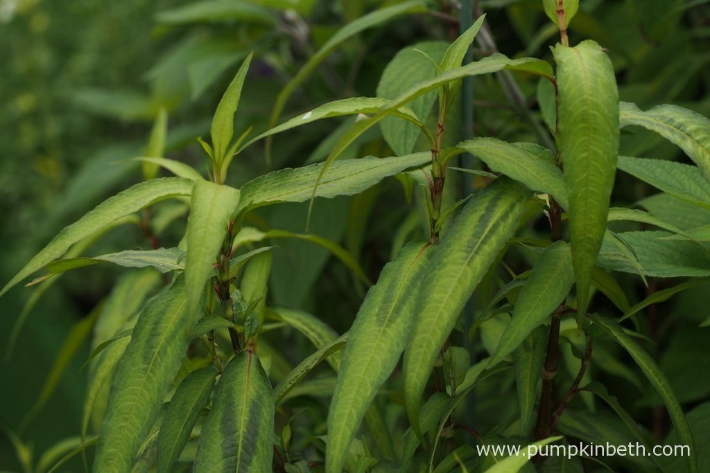 Persicaria odorata, commonly known as Vietnamese coriander, is a tender herb, used in Asian cooking.
