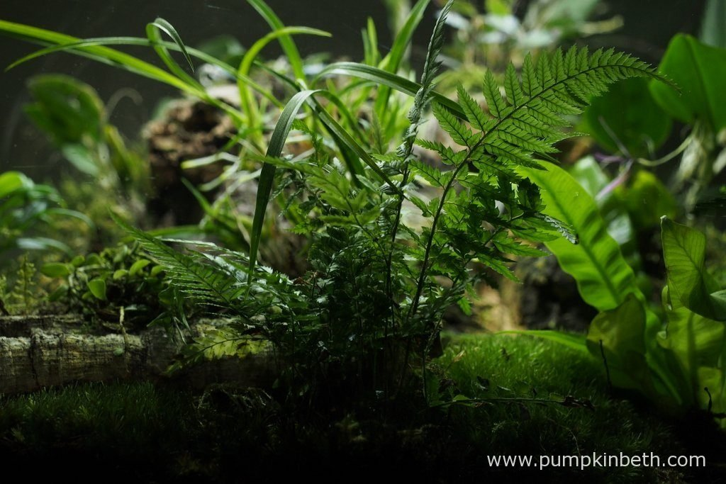 Polystichum tsussimense, pictured inside my BiOrbAir terrarium on the 16th September 2016. This fern was included in my original planting of this terrarium on the 25th September 2014. In the two years since I originally planting this terrarium, I have divided this fern, and moved it many times. This Polystichum tsussimense has thrived inside the BiOrbAir terrarium.