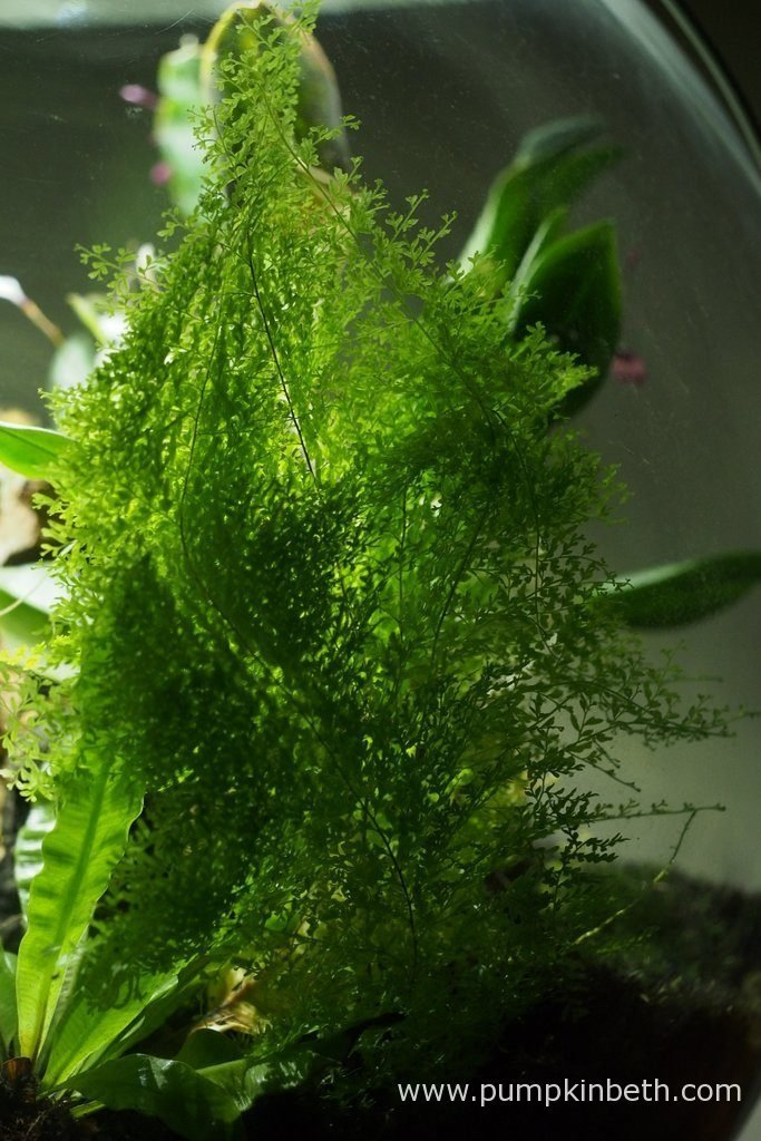 This BiOrbAir terrarium is now two years old, I have trialled growing many different plants inside this terrarium over the two year period. The Polystichum tsussimense, Nephrolepis exaltata 'Fluffy Ruffles', and Asplenium nidus 'Crispy Wave' were all included in my original planting, these ferns are growing well two years later - they have thrived growing inside the BiOrbAir. Pictured on the 16th September 2016.