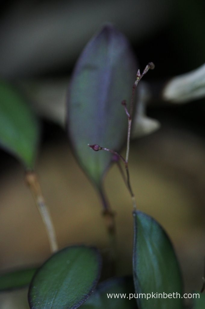 This Lepanthopsis astrophora 'Stalky' specimen is in bud and will be flowering soon. Lepanthopsis astrophora 'Stalky' is a dear little orchid, it is an endearing plant to grow. I enjoy seeing this miniature orchid each day. Pictured on the 16th September 2016, inside my BiOrbAir terrarium.