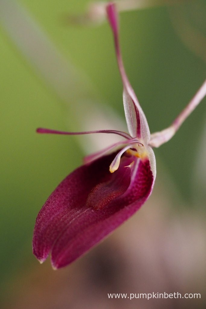 A Restrepia sanguinea inflorescence, as pictured on the 17th September 2016.