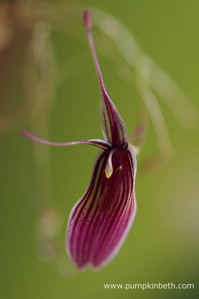 Restrepia purpurea 'Rayas Vino Tinto', pictured in bloom, on the 17th September 2016.
