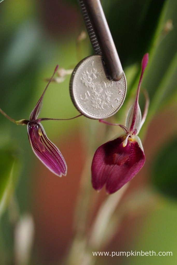 I've included a British five pence-piece in this photograph, to show you the size of the Restrepia purpurea 'Rayas Vino Tinto' and Restrepia sanguinea blooms. Pictured on the 17th September 2016.