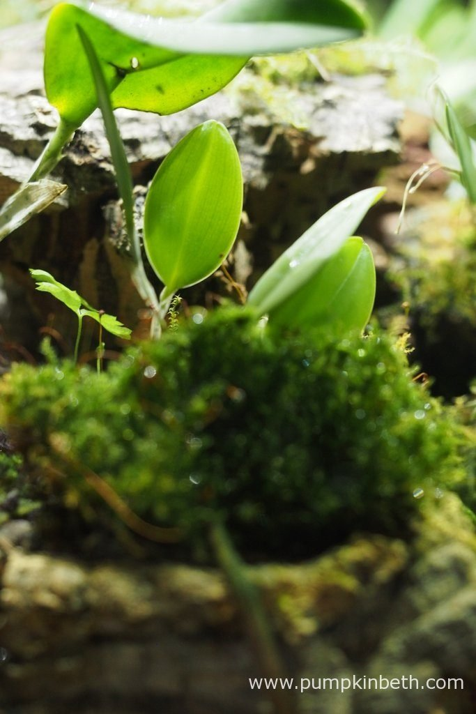 Restrepia seketii, as pictured on the 17th September 2016, inside my BiOrbAir terrarium. You might be able to see a self seeded fern growing near this miniature orchid, I removed this seedling after I took this photograph.