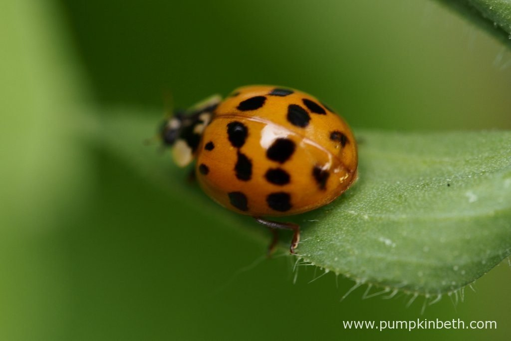One of the ladybirds spotted during the 2016 Sweet Pea trial.