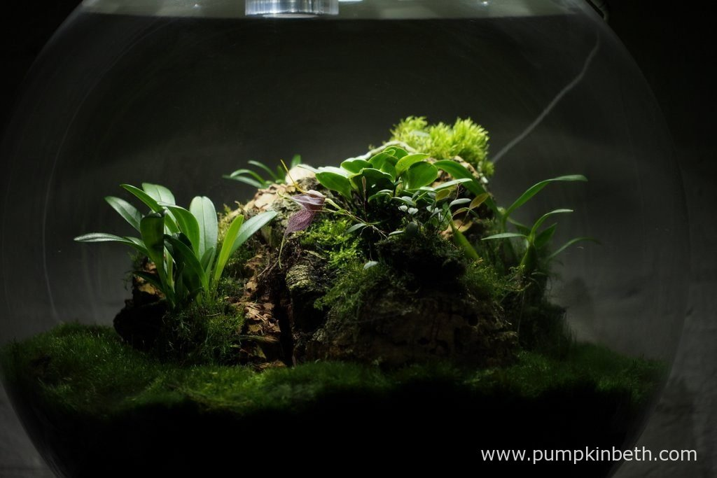 A different view of my Miniature Orchid Trial BiOrbAir Terrarium, as pictured on the 10th October 2016.