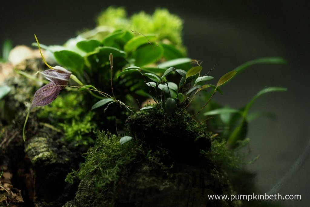 The tiny flower buds of Lepanthopsis astrophora 'Stalky' in the foreground, contrast with the large blooms of Masdevallia decumana behind. Pictured inside my Miniature Orchid Trial BiOrbAir Terrarium, on the 10th October 2016.