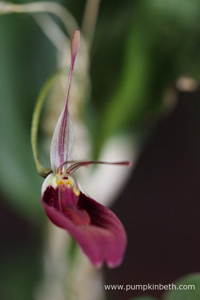 Restrepia sanguinea, in bloom inside my BiOrbAir terrarium on the 23rd October 2016.