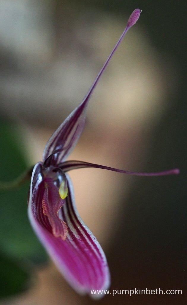 Restrepia purpurea 'Rayas Vino Tinto' in bloom inside my BiOrbAir terrarium on the 23rd October 2016.