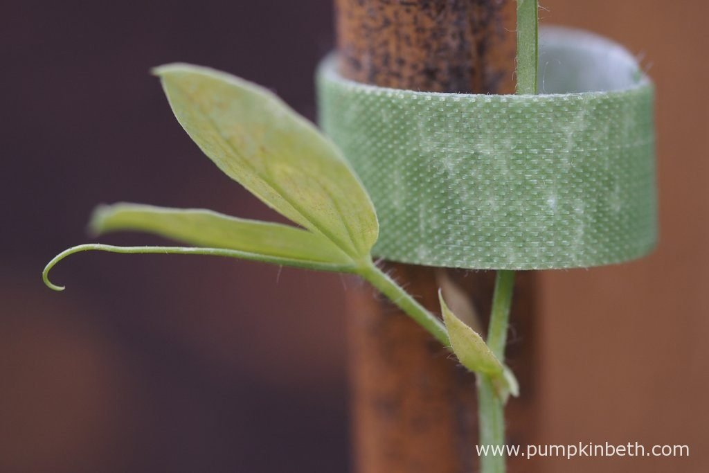 Velcro One-Wrap Plant Ties securing a Sweet Pea plant to its support.