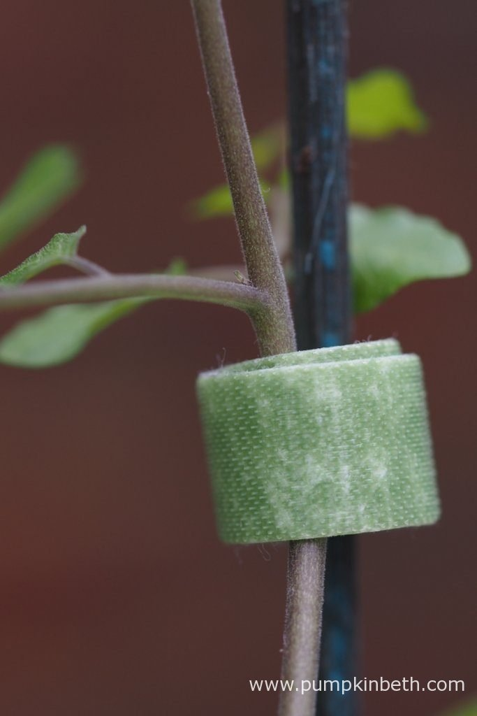 Velcro One-Wrap Plant Ties securing a tomato plant to a cane.