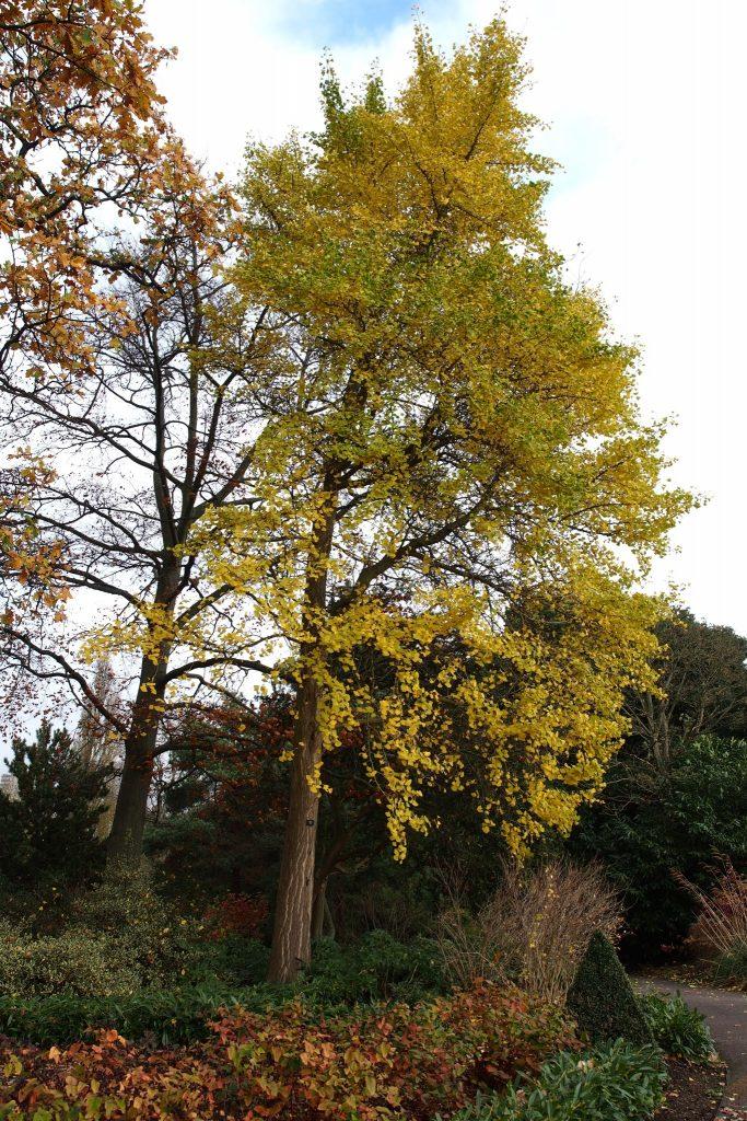 Ginkgo biloba, pictured at the Royal Botanic Gardens, Kew at the end of November.