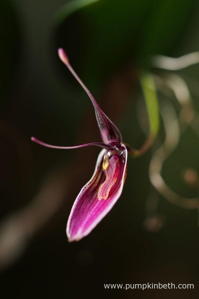 Restrepia purpurea 'Rayas Vino Tinto', pictured inside my BiOrbAir terrarium, on the 3rd November 2016.