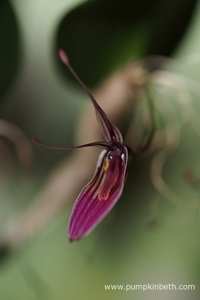 This Restrepia purpurea 'Rayas Vino Tinto' specimen is very floriferous, this specimen has been flowering almost continually, since the 8th February 2016. This flower is pictured on the 3rd February 2016.