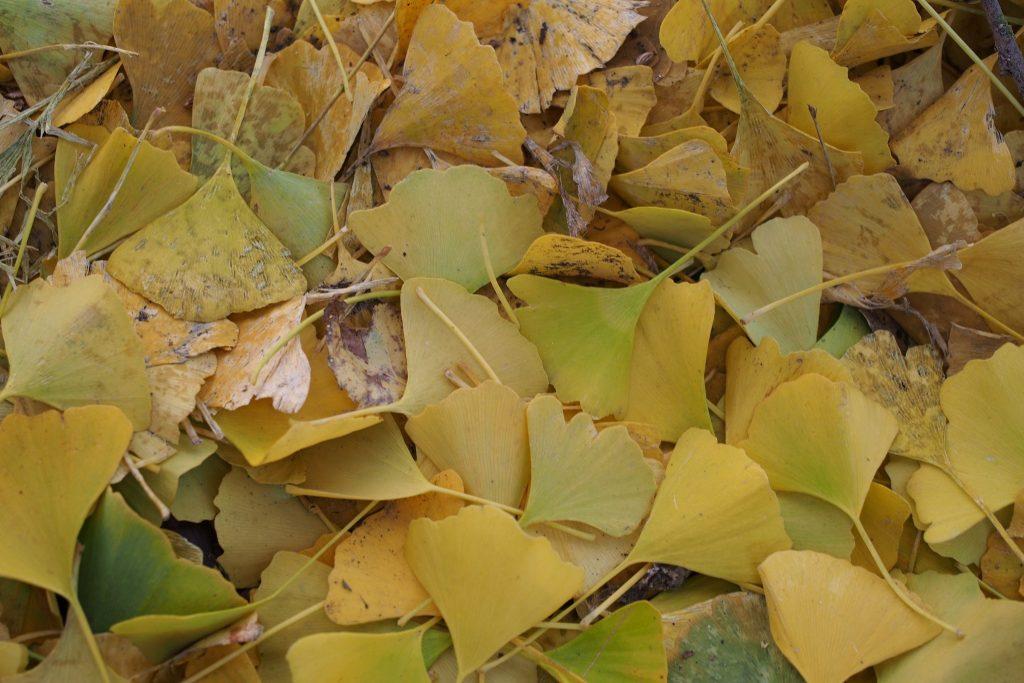 Fallen Ginkgo biloba leaves.