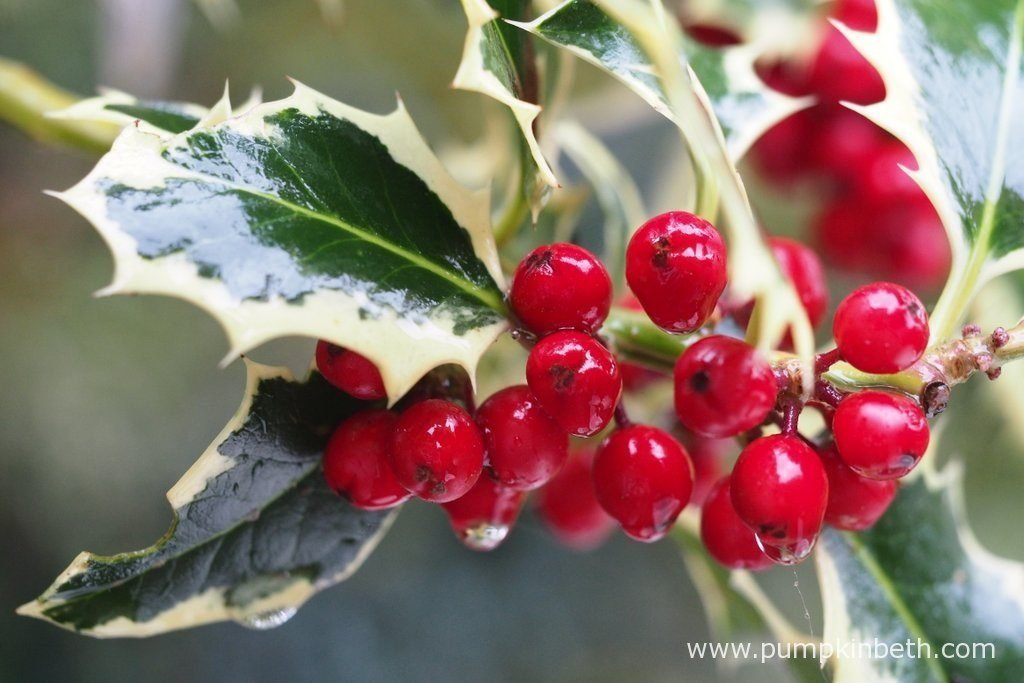 Evergreen trees and shrubs can provide shelter for birds during the winter months. Female hollies produce berries which are a popular food for birds in autumn and winter.
