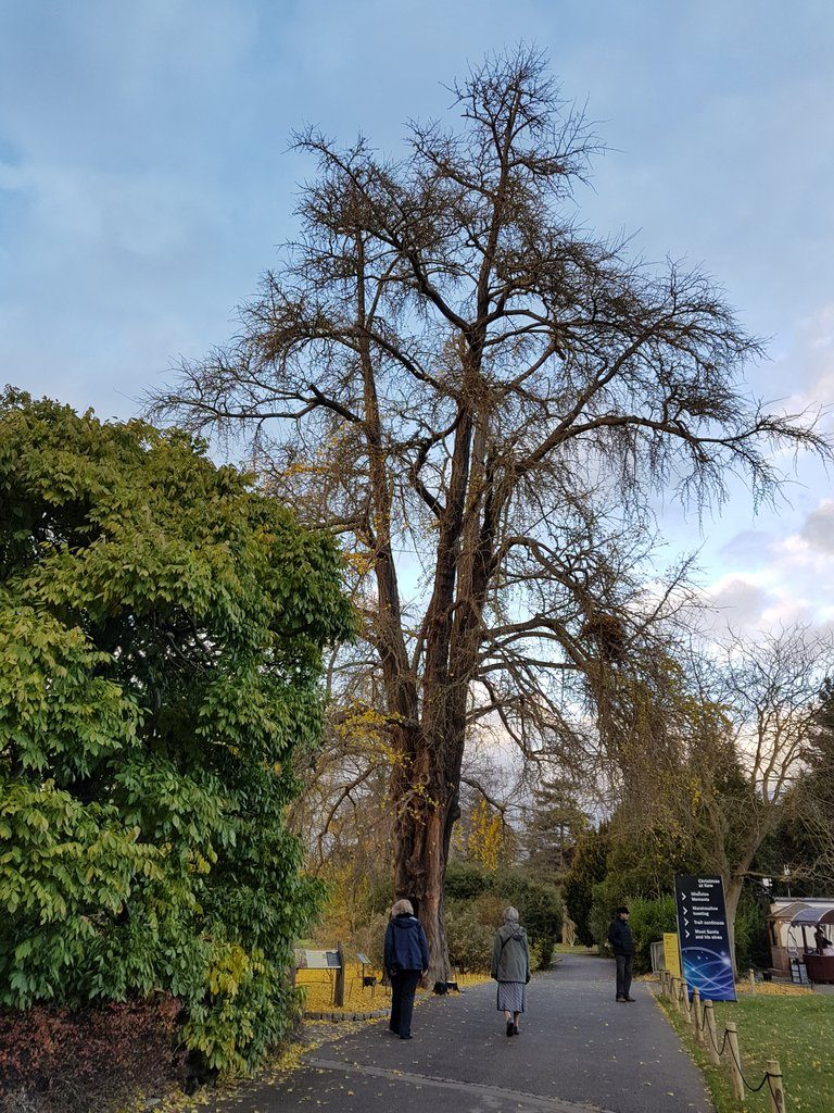 Ginkgo biloba pictured at the Royal Botanic Gardens, Kew, at the end of November.