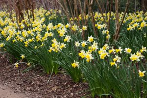 Daffodil Gardens and Events 2020 Calendar