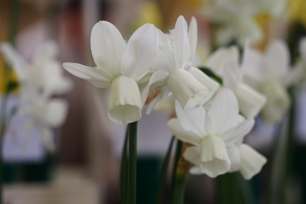 Narcissus 'Ice Wings' is a Triandrus Daffodil Cultivar, from Division Five of the Royal Horticultural Society Daffodil Classification System.