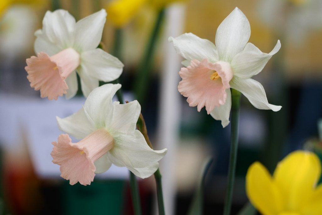 Narcissus 'Lilac Charm' is pretty daffodil from Division 6 of the Royal Horticultural Society's Daffodil Classification System - Cyclamineus Daffodil Cultivars.