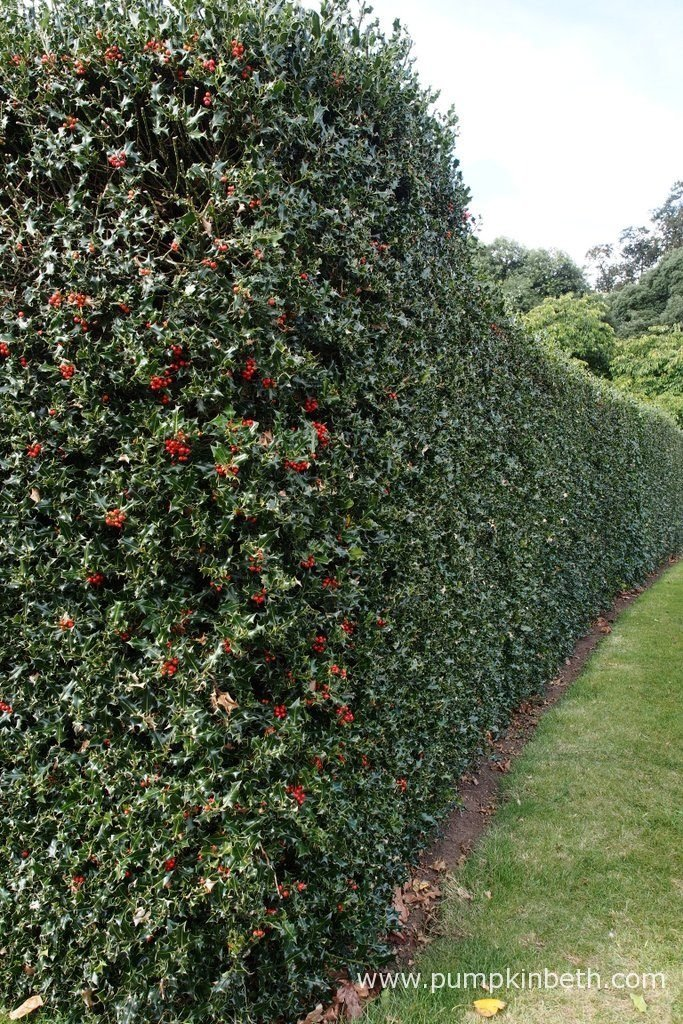 A beautiful holly hedge. Evergreen holly makes an excellent hedge that looks good all year round. Holly provides food and shelter for birds and other wildlife. If you're thinking of planting a hedge, ensure that your hedge grows right down to the ground, hedgehogs shelter and often nest under hedges, so this is an important habitat for hedgehogs and other wild animals.