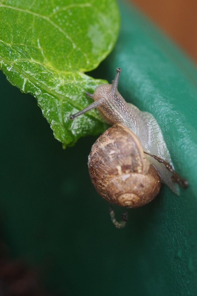 A snail enjoying a dwarf French bean 'Ferrari' leaf. This dwarf French bean plant was grown in Miracle-Gro Peat Free All Purpose Compost, for my 2016 Peat Free Compost Trial.