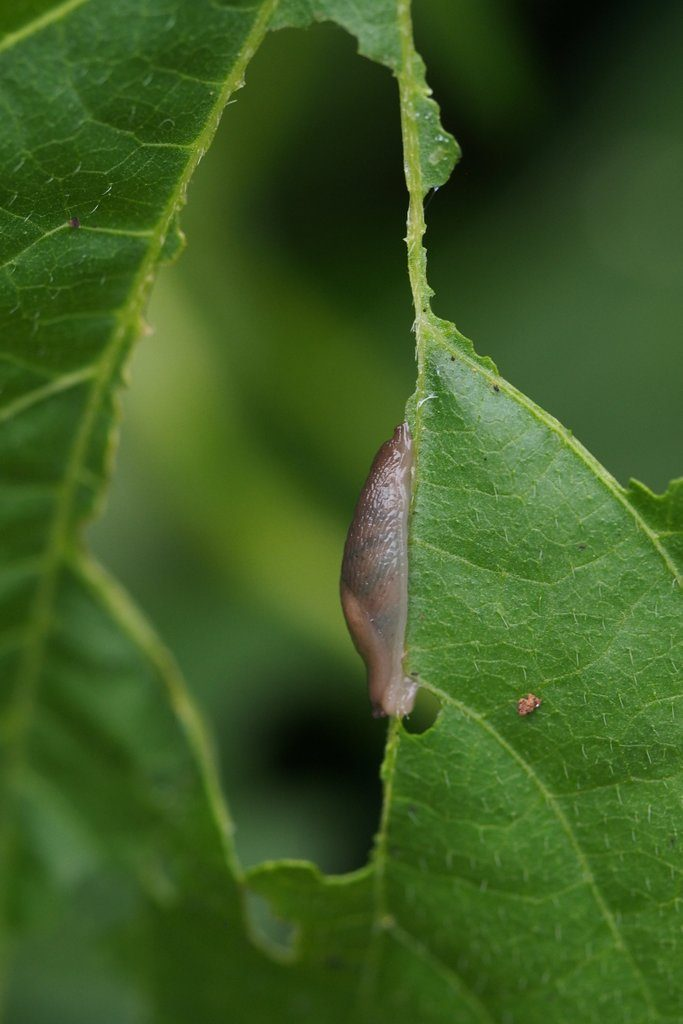A slug enjoying, and devouring one of the dwarf French bean plant's leaves.