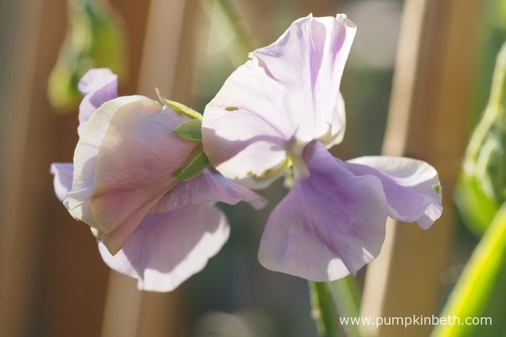 Sweet Peas can be grown as cordons, or for a less labour intensive option, they can be grown naturally as wigwam grown plants. These beautiful flowers are very easy to grow.