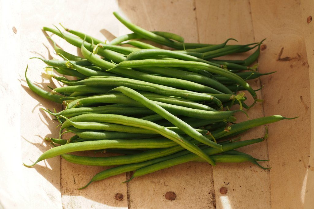 French beans harvested from plants grown in Dalefoot Double Strength Wool Compost, for my 2016 Peat Free Compost Trial.