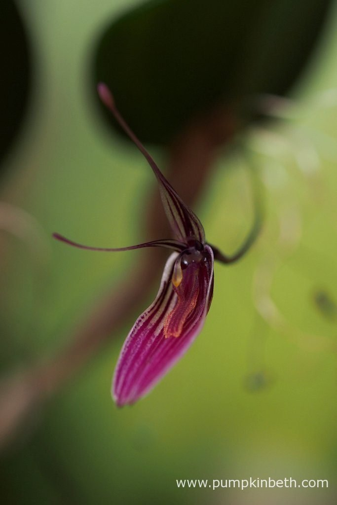 Restrepia purpurea 'Rayas Vino Tinto', pictured in bloom on the 6th November 2016, inside my BiOrbAir terrarium.